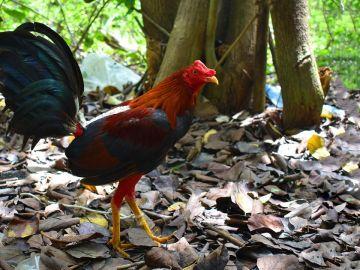 Imagen de archivo de un gallo