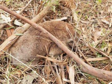 Imagen de uno de los koalas muertos tras ser aplastado durante la tala de un bosque de eucaliptos