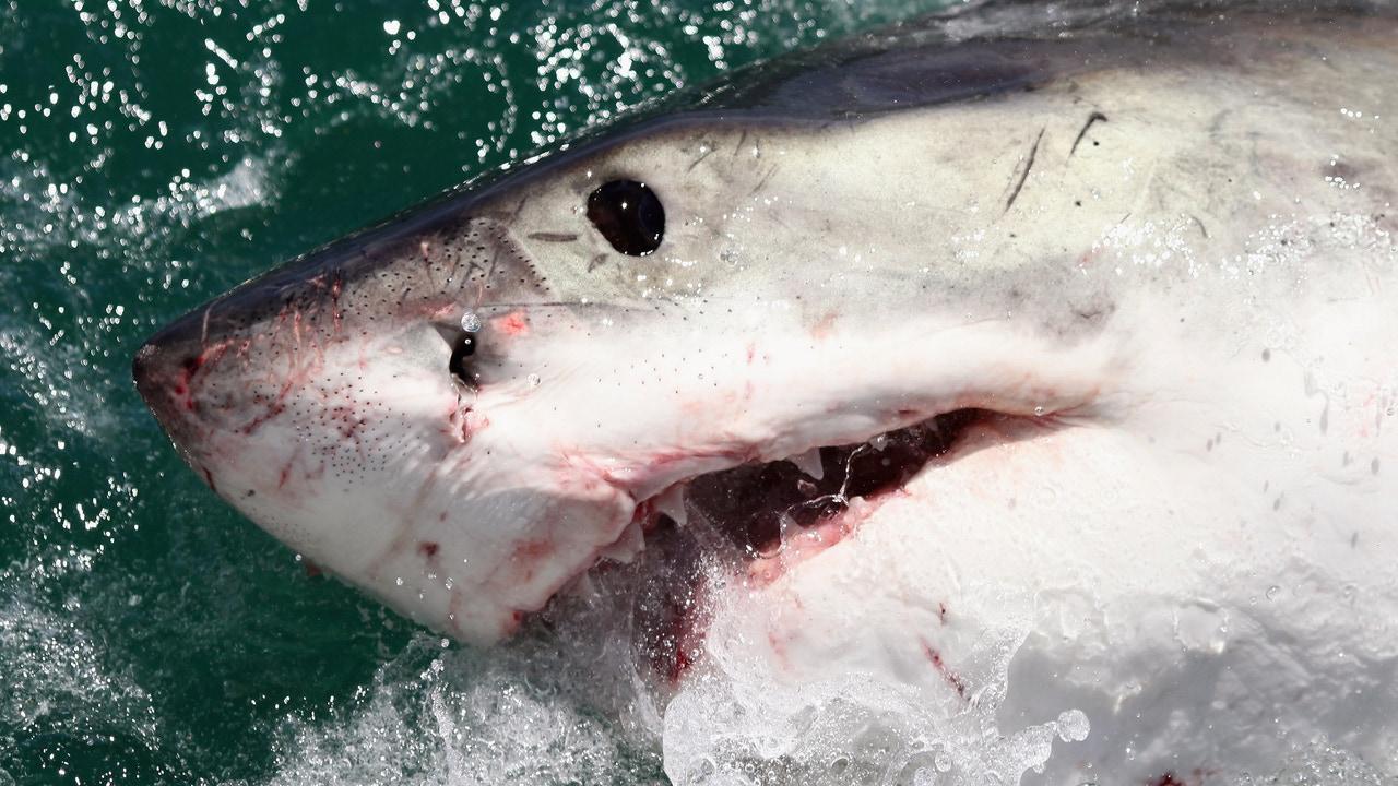 El tiburón, uno de los animales más peligrosos que habita en el planeta