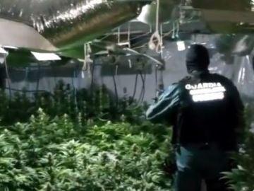 Una de las plantaciones de marihuana intervenidas por la Guardia Civil y la Europol.