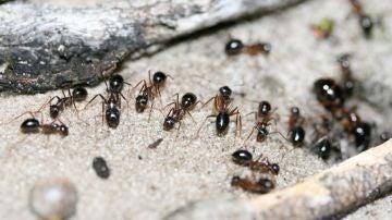 Una hormiga extrae orina de canguro de la tierra para obtener nitrogeno