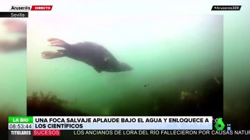 Un comportamiento nunca visto deja a los científicos boqueabiertos: una foca salvaje aplaude bajo el agua