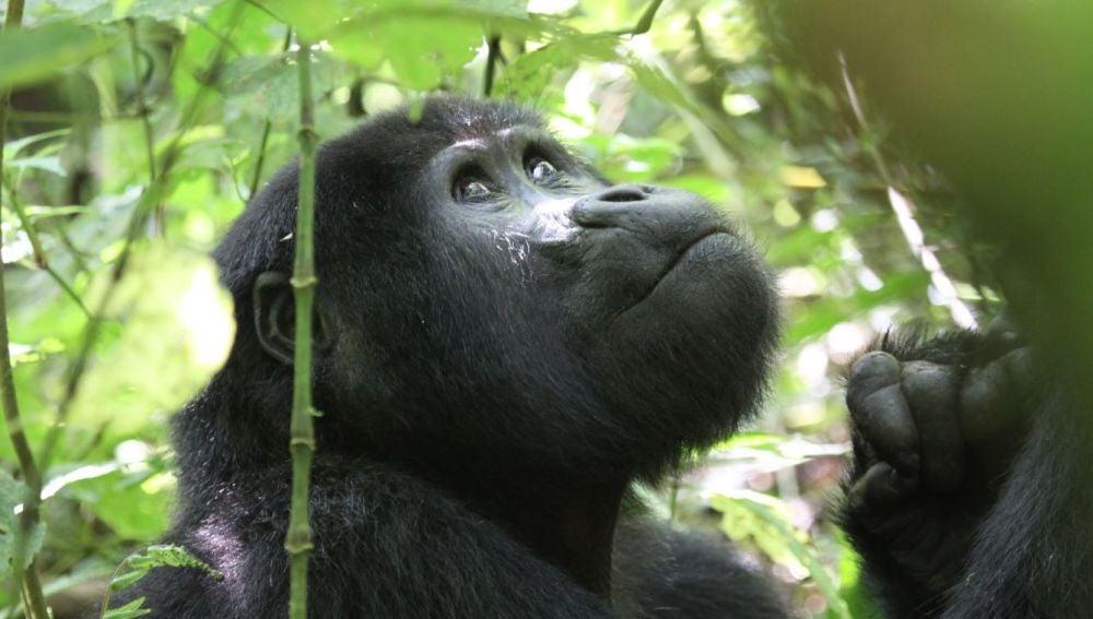 El turismo amenaza a los gorilas de montana