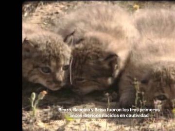 """En 2005 nacieron los primeros linces ibéricos en cautividad: """"El parto nos sorprendió de madrugada"""""""