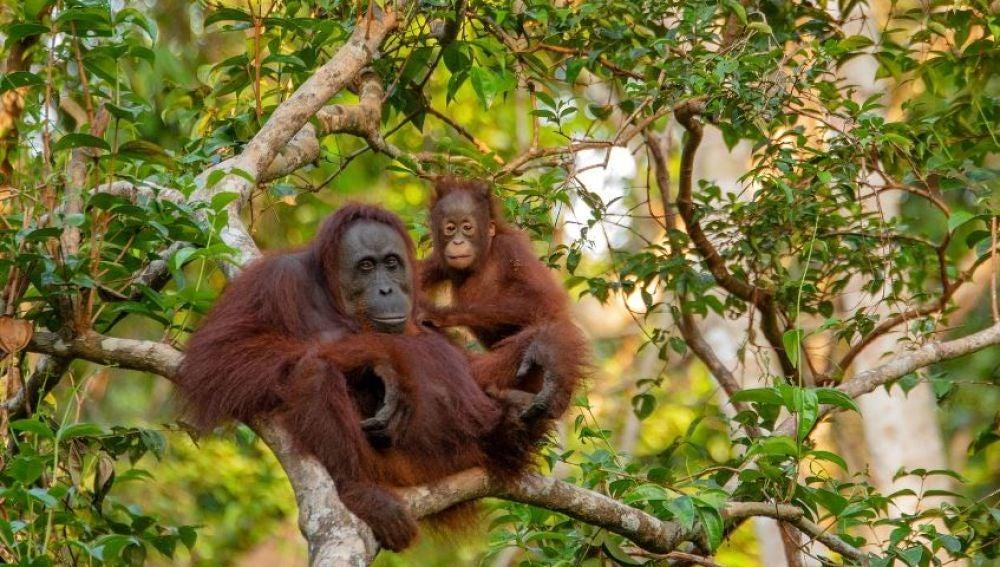 La caza y el uso del suelo reducen a la mitad la distribucion de los grandes mamiferos tropicales
