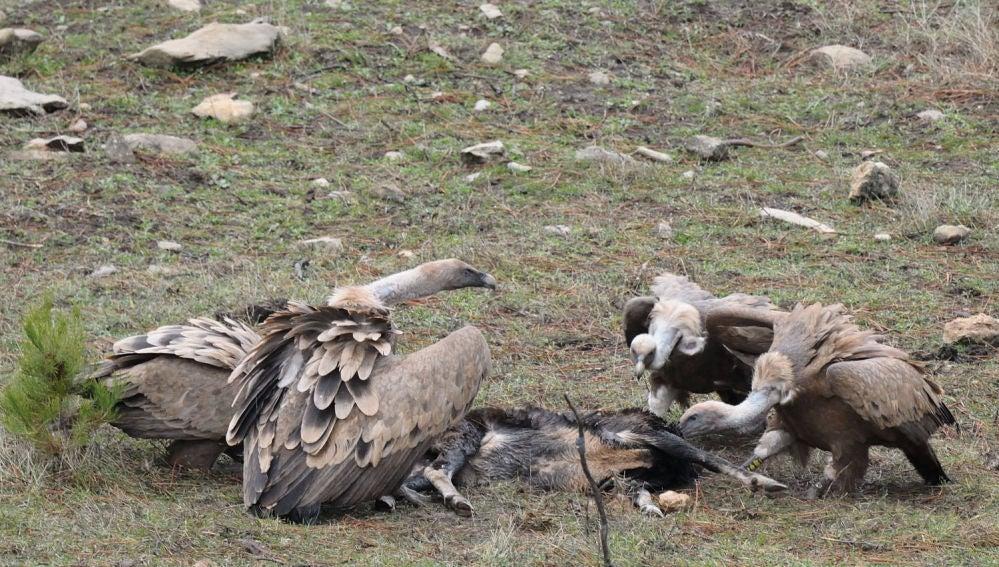 La recuperacion del monte atrae a las grandes aves carroneras