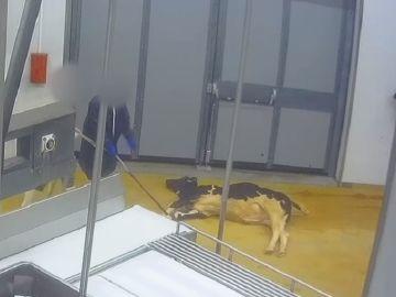 Imagen de un ternero en un matadero