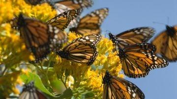 Mariposas Monarca en Michoacán