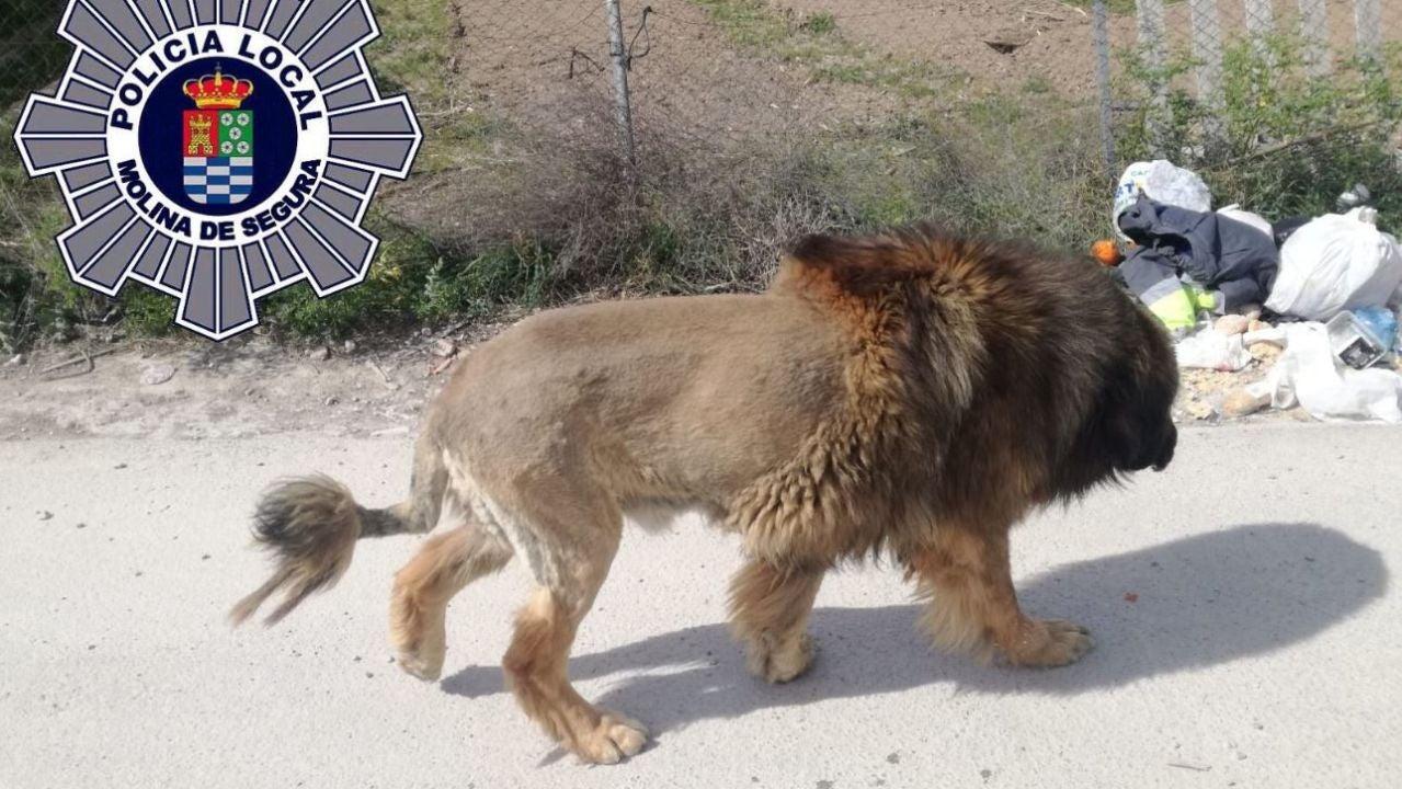 Imagen del perro que muestra un gran parecido a un león.