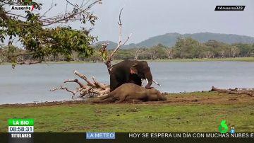 Las desgarradoras imágenes de un elefante despidiéndose de su amigo muerto