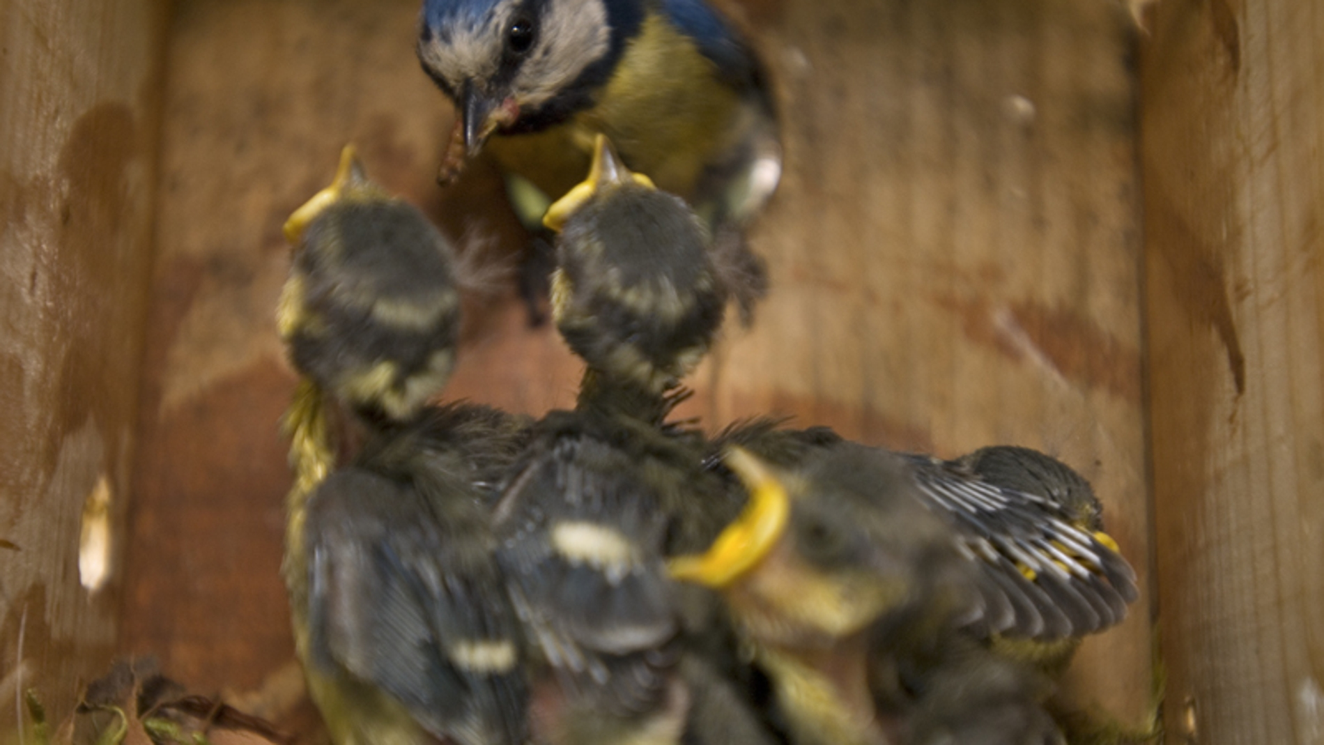 Como consiguen los machos de herrerillo tener mas polluelos fuera de la pareja