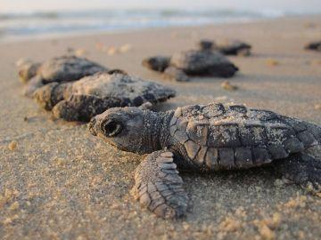 Imagen de tortugas marinas acercándose al agua tras nacer