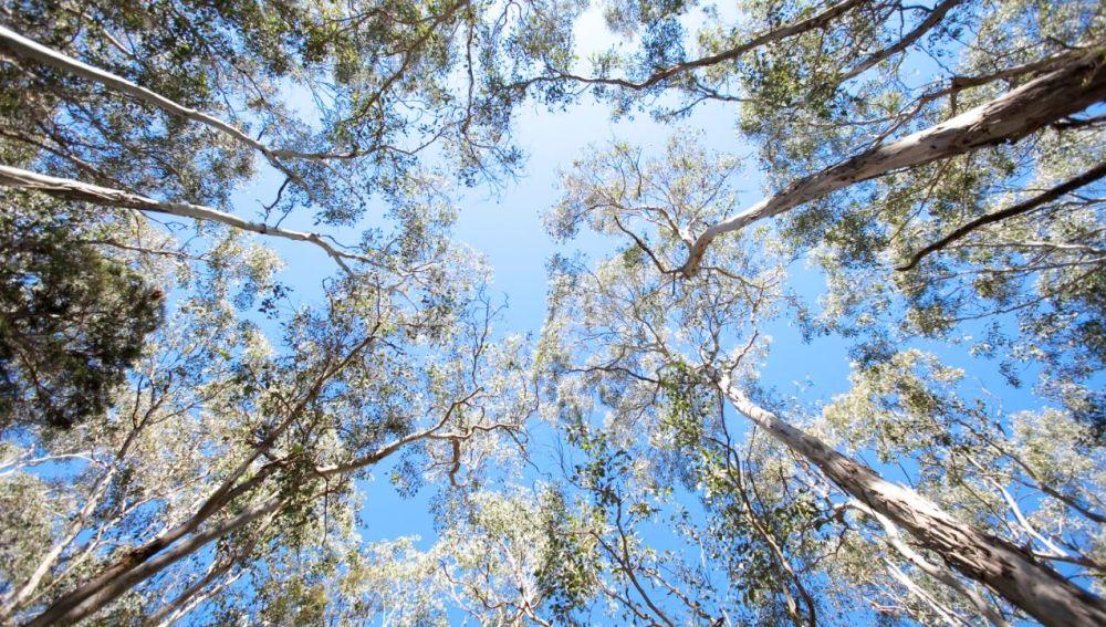 Los bosques maduros no almacenaran mas carbono de la atmosfera