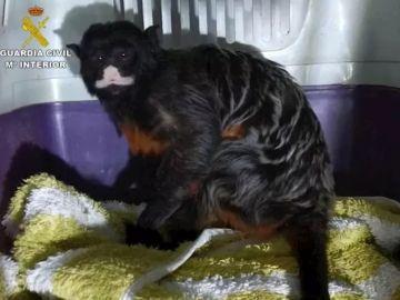 Rescatan en Calp a un mono de la especie Tamarino labiado