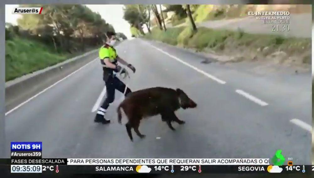 Un Mosso d'Esquadra se vuelve viral tras conseguir domar a un jabalí que había huido del bosque para adentrarse en Barcelona