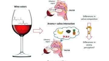 La saliva de cada persona influye en la percepcion del sabor frutal del vino