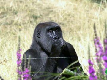 El COVID-19, una amenaza letal también para los grandes simios