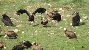 Buitres negros en Pirineos