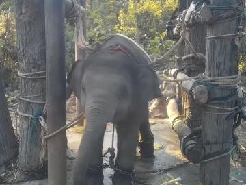Elefante torturado en Tailandia