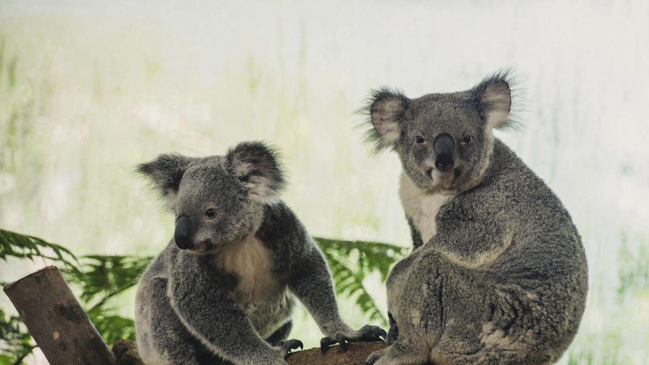 Imagen de archivo de dos koalas