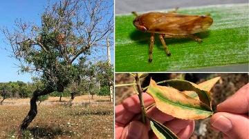 Los insectos que propagan la Xylella fastidiosa viajan mas de lo que se pensaba