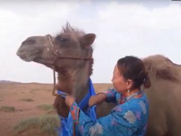 Imagen del camello que recorrió 100 kilómetros para reencontrarse con sus dueños en Mongolia