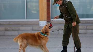 Un funcionario de entrenamiento canino de los Carabineros de Chile con sus perros, en Santiago