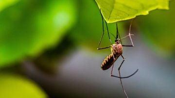 No, el mosquito japonés no está picando en Sevilla: estos son los mosquitos más peligrosos en España