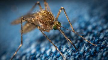 Mosquitos invasores: así es como el cambio climático favorece su llegada