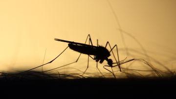 Imagen de recurso de un mosquito