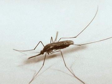 "El mosquito ""Anopheles quadrimaculatus"", portador del virus del Nilo"