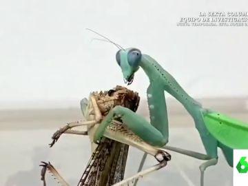 """El """"horrible"""" vídeo viral de una mantis religiosa que se merienda una langosta viva: """"Son imágenes muy crudas"""""""