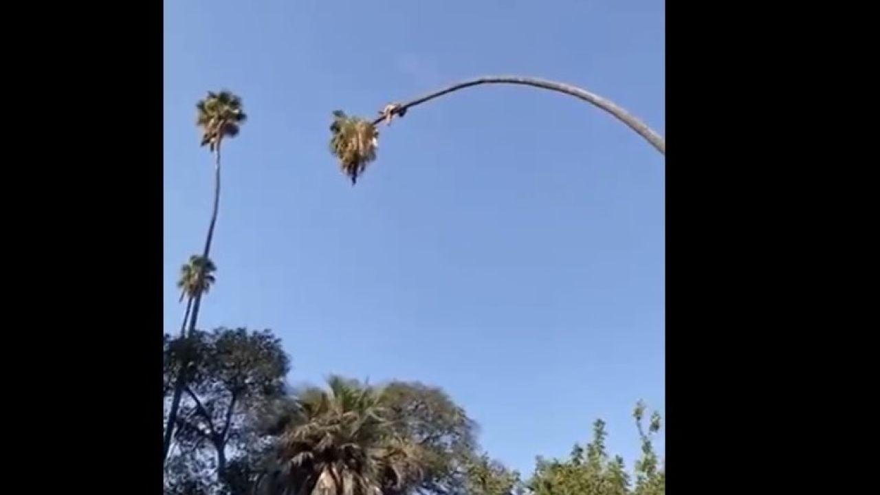 Catapultado por una palmera: la peligrosa maniobra de un podador que casi termina en tragedia
