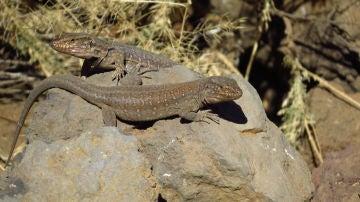 Las actividades humanas agravan los efectos del cambio climatico en los lagartos de Tenerife