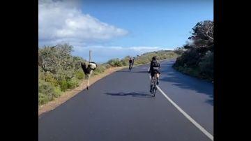 Avestruz persigue a unos ciclistas