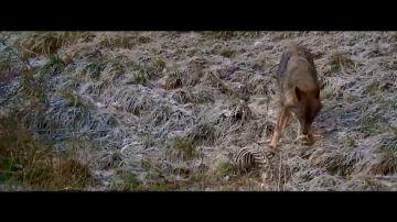 """Jalis de la Serna logra ver, este miércoles en Natural, al """"depredador de los jabalíes"""", el lobo: """"Es un animal que impresiona"""""""