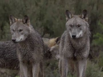 """La reacción de Jalis de la Serna al ver en Natural a una manada de lobos de cerca: """"¡Qué pasada! ¡Son impresionantes!"""""""