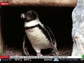pareja gay pingüinos