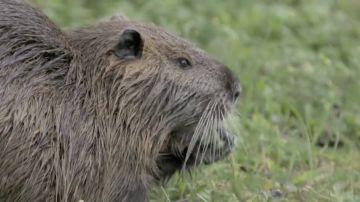 El coipú, una rata acuática que trajo la industria peletera para hacer terciopelo y que ha invadido el Parque Ecológico de Plaiaundi