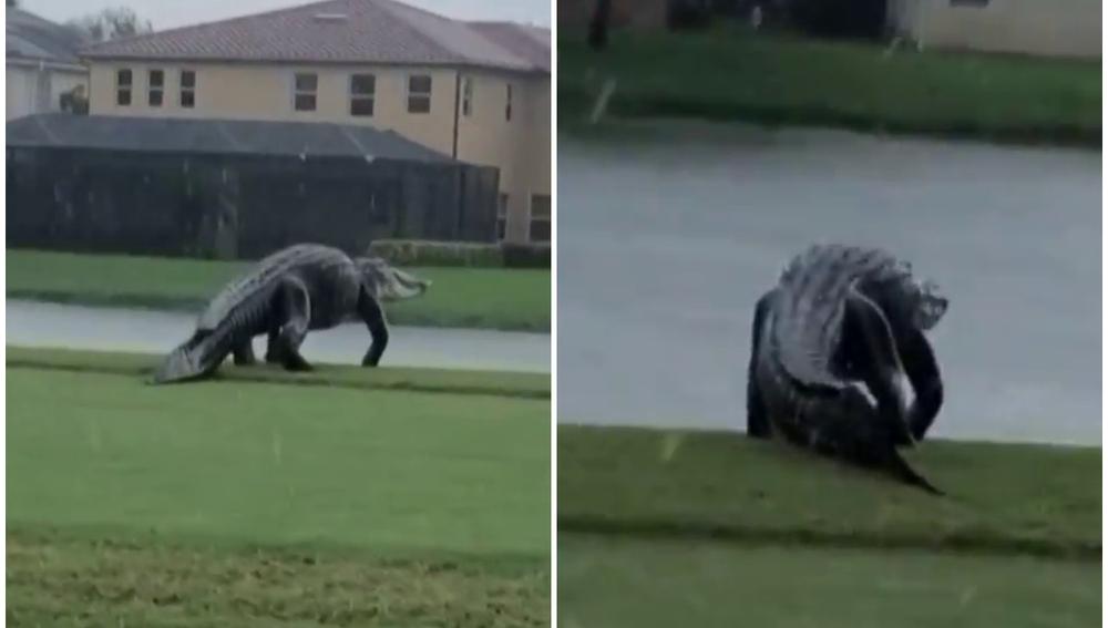 Un caimán gigante