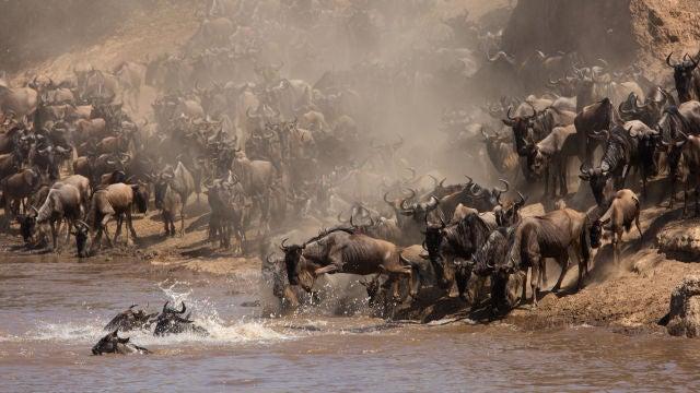 Los animales que migran viven rapido y mueren jovenes