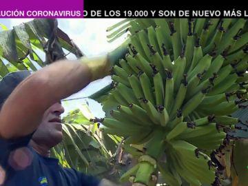 El plátano canario, contra los recortes de los fondos europeos: el sector otorga trabajo a más 15.000 familias de las islas