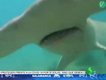 La lucha agónica entre un buzo y un tiburón martillo que huye tras recibir un golpe con un bastón de cámara