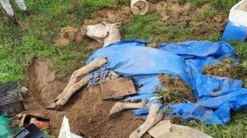 Imagen del caballo semienterrado vivo