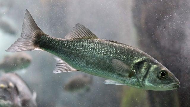 Las olas de calor marinas provocan cambios permanentes en la expresion genica de los peces
