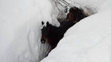 Imagen de las yeguas sepultadas por la nieve en Burgos