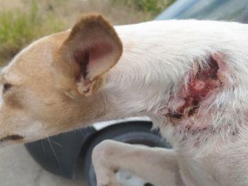 Imagen de uno de los perros rescatados con cortes graves en el cuello