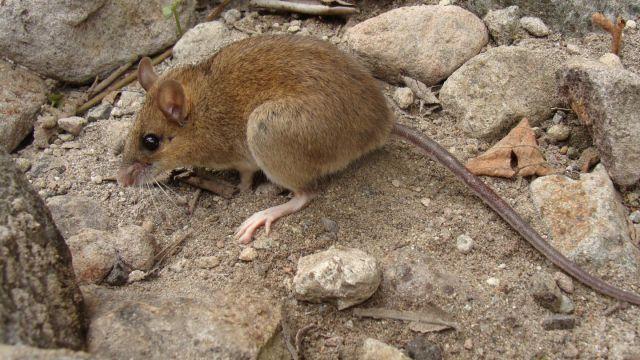 Ratón del Pinatubo