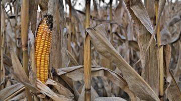 Cultivo de maíz