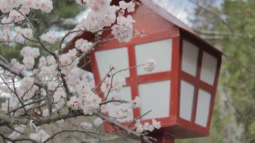 Sakura. Japón